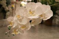 XM11721WHSN Phalaenopsis Spray White w/ Snow 22.5""