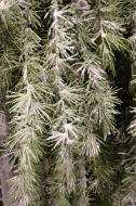 XZ10026 Weeping Needle Pine Garland 10' x 12""