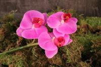 FL10843OH  Phalaenopsis Pick 3 Flowers Orchid 12""