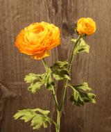 FL10806YEOR Ranunculus Spray 1 Flower 1 Bud Yellow Orange 20""