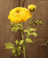 FL10806YE Ranunculus Spray 1 Flower 1 Bud Yellow 20""