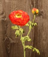 FL10806OR Ranunculus Spray 1 Flower 1 Bud Orange 20""