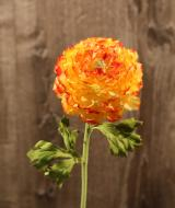 FL10807GOYE Ranunculus Gold Yellow 15""